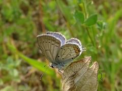 Cupido argiades Tarascon sur A 23 06 2017 (Froggy Birder) Tags: puymorens papillon butterfly rhopalocères ariège cupidoargiades