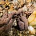Three fatties - Phallusia obesa ascidian