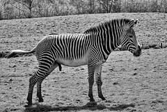 Could have waited 2 (davep90) Tags: chester zoo nature animal captive nikon d90 sigma 70300 apo dg macro zebra pee horse davep90 outdoor mono urination