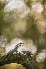 DSC_8963-1 (melnikovee) Tags: lucanus cervus stag beetle insect macro art nature wildlife