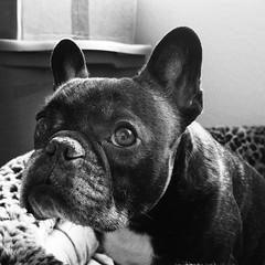 Nap Time (Lainey1) Tags: oz ozzy dog frenchie bulldog lainey1 elainedudzinski frogdog zendog frenchbulldog ozzythefrenchie bw monochrome leica leicadlux4