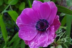 "Anemone (Gartenzauber) Tags: floralfantasy ""doublefantasy"""