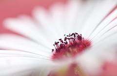 A nest of White Petals (haberlea) Tags: garden mesembryanthemum white pink flower centre nature plant mygarden anthers