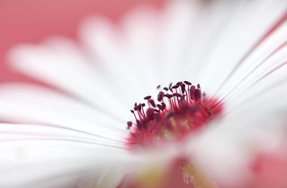 A nest of White Petals
