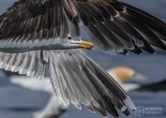 Just the eye (mikedenton19) Tags: larusargentatus larus argentatus herring gull herringgull gulls seagull sea bird seabirds yorkshire eastyorkshire yorkshirecoastnature bempton bemptoncliffs rspb coast steveracephotography wildlife nature