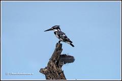 6982 - pied kingfisher (chandrasekaran a 40 lakhs views Thanks to all) Tags: piedkingfisher kingfisher birds nature india chennai