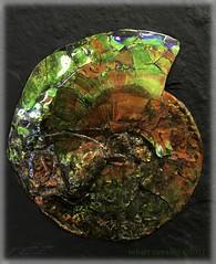 gem coated fossile (zawaski) Tags: alberta beauty canada ammonite naturallight noflash zawaski©2017 canmore rockymountains love calgary ambientlight ammolite iphonesebackcamera415mmf22