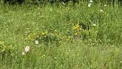 Wildflowers by Our Hotel (joeldinda) Tags: soo sault upperpeninsula up saultstemarie wildflowers flowers daisy festival engineersday hills d500 nikon nikond500 michigan 2017