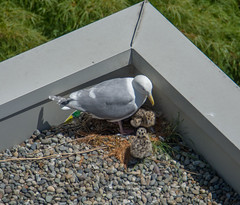 Glaucous-winged Gull (Larus glaucescens) (ekroc101) Tags: birds glaucouswingedgull larusglaucescens bc vancouver coalharbour eleanoredgar