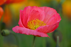 Poppy (mclcbooks) Tags: flower flowers floral macro closeup poppy poppies spring denverbotanicgardens colorado zerenestacker