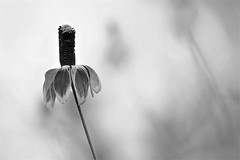 """Stand out (bnbalance) Tags: yourbestblackandwhite bnw blackandwhite art artistic creative """"visual poetry"""" nature flower summer bw"""