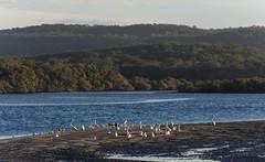 Evans River (dustaway) Tags: landscape estuary birds sandbank lowtide evansriver evanshead northcoast nsw australia australianlandscape lateafternoon winter woodland hills water distance bundjalungnationalpark