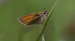 Small Skipper (PhilDL) Tags: smallskipper butterflies britishbutterflies butterfly britishlepidoptera britishbutterflyconservation butterfliesandmothsofgreatbritain butterfliesofbritain lepidoptera uk ukbutterflies nature naturereserves countryside macro insects whiteleypastures whiteley botleywoods