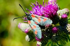 5 Spot Burnett (Mooshie1956) Tags: abneyhall cheadle stockport panasonic lumix gx80 43m micro43 m43 moth 5 five spot burnett