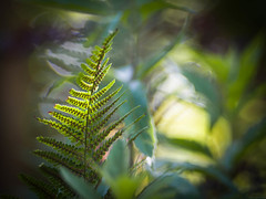Shades of Green (ursulamller900) Tags: pentacon28100 green farn fern mygarden bokeh