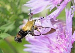 Hummingbird Moth (hennessy.barb) Tags: moth hummingbirdmoth clearwing clearwingmothbug insect flower bloom blossom nature flying flight gathering pollinating hemaristhysbe