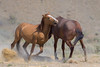 Boys Will Be Boys (Amy Hudechek Photography) Tags: nikond500 wild stallions horses sandwashbasin colorado fight play battle amyhudechek nature wildife