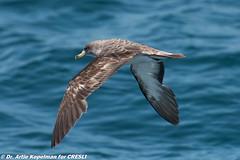 AHK_7339 (ah_kopelman) Tags: 2017 cresli creslivikingfleet2017whalewatch calonectrisborealis corysshearwater montaukny vikingstar