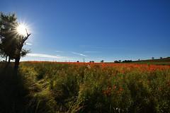 Le Soleil en face (Excalibur67) Tags: nikon d750 sigma globalvision 24105f4dgoshsma paysage landscape sky soleil ciel flowers fleurs coquelicots pavots poppies arbres trees