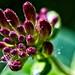 Chèvrefeuille - Honeysuckle (olivier_kassel) Tags: macro fleur flower