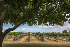 25/52: I heard it though the grapevine... (judi may...mostly off for a while) Tags: 100xthe2017edition 100x2017 image60100 52weekchallenge ngatarawa hawkesbay newzealand vineyard ngatawaravineyard tree sky clouds vines grapevine canon7d