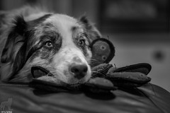 Dreaming of playtime (Jasper's Human) Tags: aussie australianshepherd toy cephalopod octopus