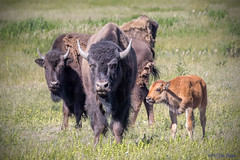 American Bison Family (Bison bison) - Bull, Cow, and Red Dog - Grand Teton National Park (Jim Frazee) Tags: americanbison family bisonbison grandtetonnationalpark