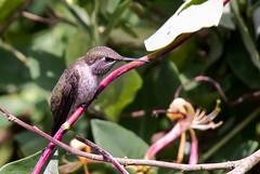 Hmmm (robinlamb1) Tags: nature animal outdoor bird hummingbird hummer annashummingbird calypteanna female honeysuckle vine leaves backyard aldergrove