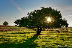Tree of Summer (Charlene van Koesveld) Tags: summer tree magic sunrise morning veluwe sun sunlight grass grassland heath heather moorland landscape heide hei gelderland iddylic green purple field fieldofgold goldenhour nature hayfield hay magical dutch netherlands nederland holland golden ermelo