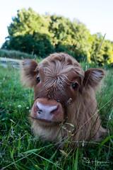 Baby Highlander @ Amsterdamse Bos (PaulHoo) Tags: fujifilm fuji x70 amsterdamse bos holland netherlands highlander animal cow portrait closeup schotse hooglander hair baby sweet innocent 2017 grass