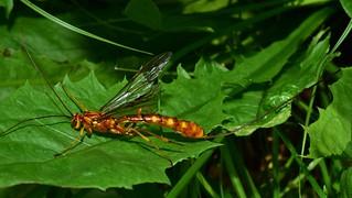 huge female giant Ichneumonidae parasitic wasp (Megarhyssa vagatoria) DSC_0537