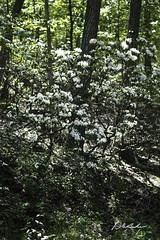 Mountain laurel-Bear Mountain-6-21-17-3 (hudsonvalleybirder) Tags: mountainlaurel bearmountain