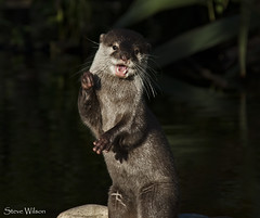I'm only happy when I dance (Steve Wilson - over 9 million views Thanks !!) Tags: nikon chesterzoo zoo asia asian oriental otter cute funny dancing omnivore