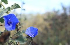 Azul (Jahir_Shot) Tags: flor azul flores nature naturaleza enfoque montecristi manabí ecuador color macro canon t5 jahir