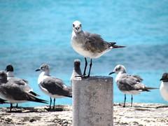 One in the crowd (thomasgorman1) Tags: gull seagulls gulls birds seabirds beach pier ocean water caribbean isla island mujeres mexico wildlife nature
