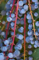 Oregon Grape Holly (s.d.sea) Tags: oregon grape holly pentax k5iis klahanie issaquah sammamish seattle eastside king county garden macro blue berries pnw pacificnorthwest branch cluster texture vine