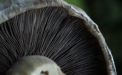 Bottoms up mushroom! (Marinda_95) Tags: macro macromondays macromonday mushroom fungi fungus gills green bokeh stripes beautiful interesting food flcikr flickr photography nikon
