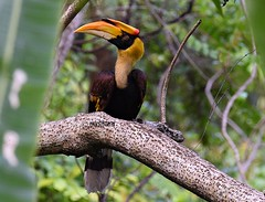 Great Hornbill (Buceros bicornis) (Meenakshi Mallik) Tags: great hornbill buceros bicornis india indian bird huge big black yellow brown dark pied white manas assam arunachal near threatened wildlife birds photography photos nature forest national park helicopter loud call flapping wings