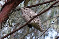 Tawny Frogmouth (Podargus strigoides) (johnedmond) Tags: perth westernaustralia tawny frogmouth bird nature wildlife sel55210 55210mm sony ilce3500