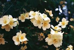 .time. (Camila Guerreiro) Tags: film expiredfilm flowers leica seoul camilaguerreiro southkorea kodak leicar4 ektar100 35mm expired ektar grain analog