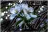 MAY 2017 NM1_4089_319-222 (Nick and Karen Munroe) Tags: apple appletrees appleblossoms blossoms tree trees spring springtime heartlakeconservationarea heartlake heartlakeconservation canada colour color colors closeup macro beauty beautiful brampton ontario outdoors ontariocanada nikon nickmunroe nickandkarenmunroe nature nickandkaren nikond750 karenick23 karenick karenandnickmunroe karenmunroe karenandnick munroedesignsphotography munroedesigns munroephotography munroe woods white bokeh flowers flower flowering nikon1424f28