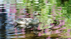 a white female duck with nice colors around (2) : in the light (Franck Zumella) Tags: duck female light shadow colors purple red green reflection water lake lac eau reflexion rouge vert rose canard blanc oiseau bird