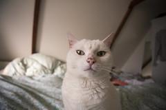 Mississippi (Arend Jan Wonink) Tags: mississippi felixdomesticus feline cat katze kat verlengdegrachtstraat