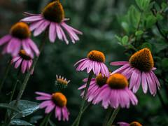_IGP8306.jpg (DWO630) Tags: 90mm pentaxk01 flowers garden lewisginter lewisginterbotanicalgarden lgbg macrolens primelens richmond rva tamron90mmmacro va virginia