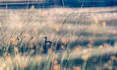 Duck family 鴨子的一家 (T.ye) Tags: ducks wildlife family bird lake landscape bokeh blurry swan bc canada