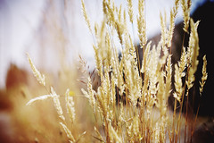 Summer days (Eric Flexyourhead (catching up)) Tags: vancouver canada britishcolumbia bc strathcona eastvan eastvancouver city urban detail fragment grass weeds seeds gold golden dry summer shallowdepthoffield bokeh sonyalphaa7 zeisssonnartfe55mmf18za zeiss 55mmf18