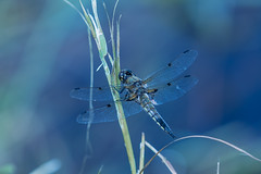 Wingin' It (Fallen Archer) Tags: mapleridge dragonfly pittriverdyke canoneos5dmarkiv ef70200mmf28lisiiusm