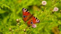 Butterfly (1) (YᗩSᗰIᘉᗴ HᗴᘉS +6 500 000 thx❀) Tags: butterfly papillon peacock green red nature natural macro hensyasmine sony sonyilce7