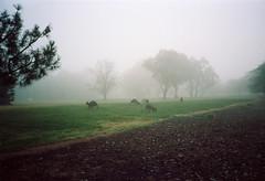 Frame 8.jpg (njcull) Tags: 35mm builtin c41 cn100 canberra film lomography lomographycolornegative100 nikonl35af westonpark kangaroo yarralumla australiancapitalterritory australia