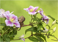 Have a itch! (hisdream) Tags: harvestmouse rodent clematis flowers macro captivelight